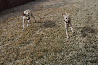 Bob and Egypt running in a yard, he is running toward me with his legs out straight so it makes him look super long.