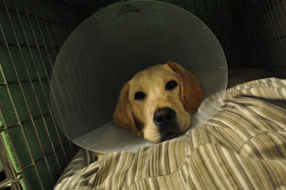 Bob laying in his crate with the door open, he is facing towards the front with his cone on