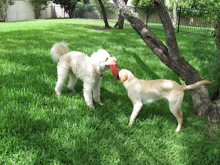 Bob and mason playing tug with the frisbee