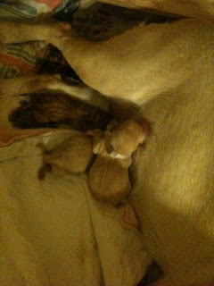Poppy laying on her side with 3 puppies nursing