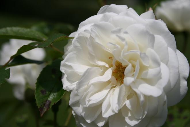 l'intimité d'une rose à peine dévoilée...