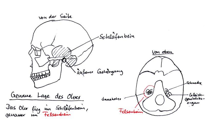 GEHÖRSCHUTZ-NACHRICHTEN: Teil 2/ Lage des Ohres im Schädel