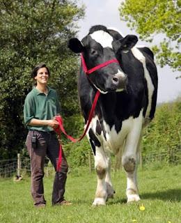 lembu terbesar di dunia