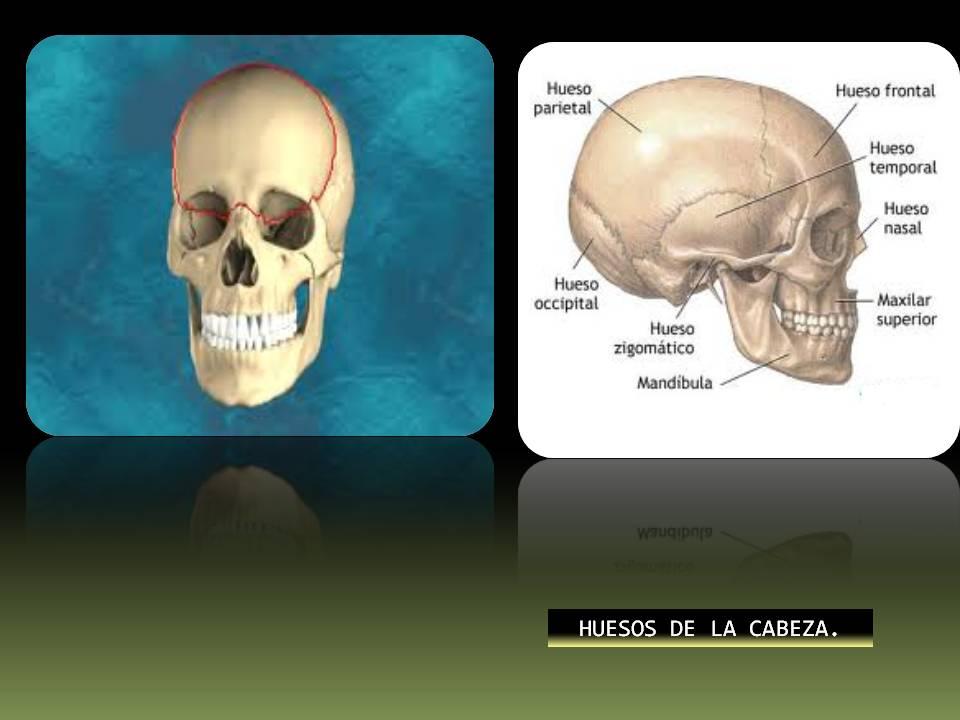 Anatomía y Fisiología humana: SISTEMA ESQUELÉTICO.