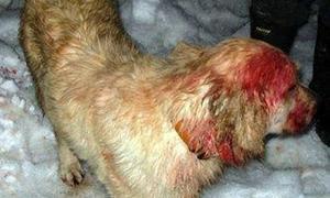 perro Un perro salva a un niño del ataque de un puma