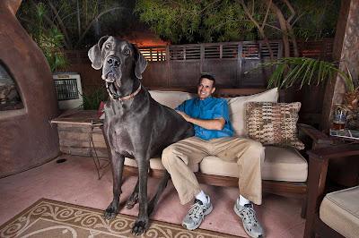 giant george  30 El perro más grande del mundo