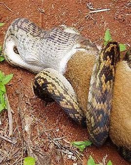 canguro2(1) Serpiente comiéndose a un canguro