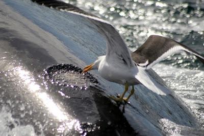 ballena gaviota Los ataques de gaviotas