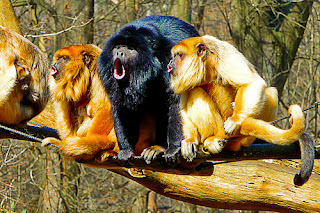 'death metal monkeys' by brum d on Flickr
