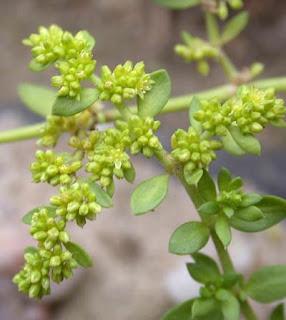 Изсипливче, белило, зарвързанче / Herniaria glabra