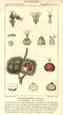 Кестен, питомен кестен / Castanea vesca