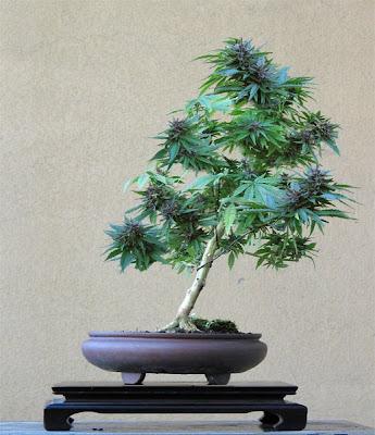 Коноп / Cannabis sativa