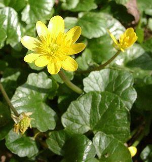 Лютиче / Ranunculus ficaria