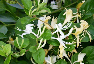 Нокът / Lonicera caprifolium