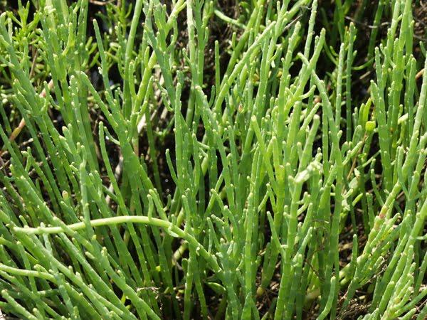 Salicornia Cultivating