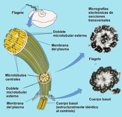 Flagelo bacteriano in situ: Darwin não explica a origem e nem a evolução disso!!!  Flagelo+bacteriano+13