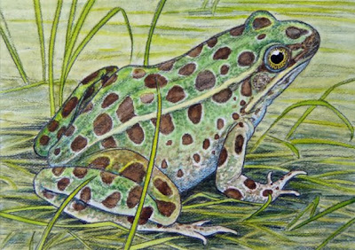 northern leopard frog painting by wildlife artist Shari Erickson