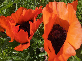Mrs. Perry poppies