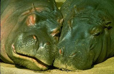 two hippos - hippopotamus