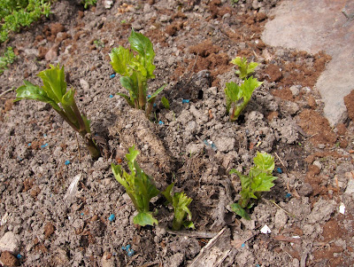 dahlia shoots
