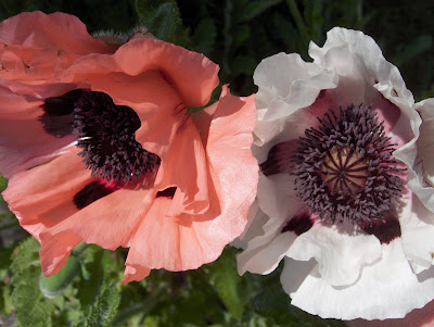 Mrs. Perry poppy with a pink poppy
