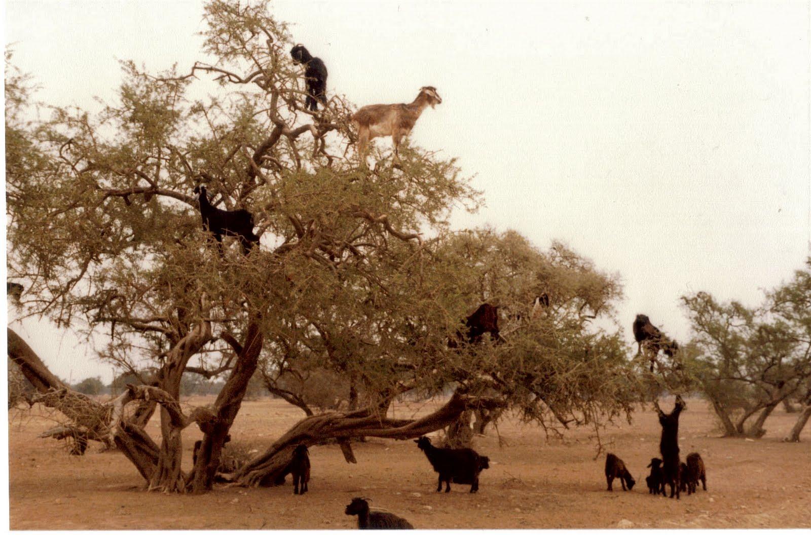http://1.bp.blogspot.com/_4kkT22kuvoA/TBOQ14vw3kI/AAAAAAAACh8/dCpKeKF8RDE/s1600/goats-trees-1.jpg