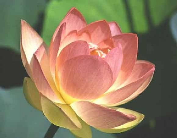 lotus flowers 