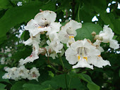 """Catalpa"" Tree Blossoms"