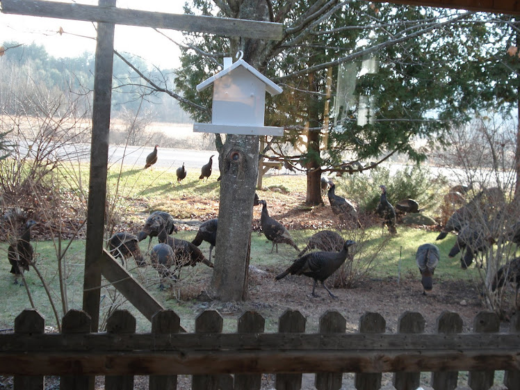 Wild Turkey Invasion