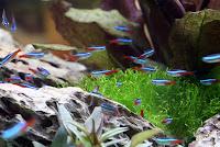 Ryba akwariowa Neon Innesa