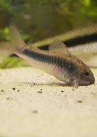 Ryba akwariowa Kirysek Spiżowy