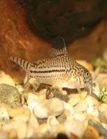 Ryba akwariowa Kirysek Nakrapiany