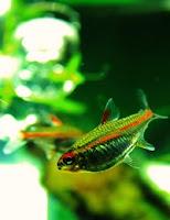Ryby akwariowe Zwinnik Jarzeniec