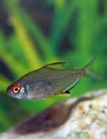 Ryby akwariowe Bystrzyk Pięknopłetwy