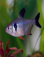Ryby akwariowe Barwieniec Czarny