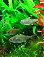 Ryby akwariowe Prystelka Barwna