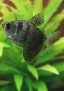 Ryba akwariowa Żałobniczka Czarna