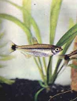 Ryba akwariowa Bystrzyk Czarnopręgi