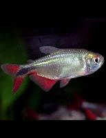 Ryba akwariowa Zwinnik Ogonopręgi
