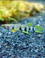 Ryba akwariowa Szczupieńczyk Dageta