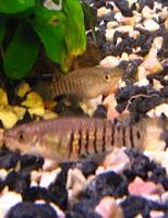 Ryby akwariowe Szczupieńczyk Pręgowany