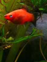 Ryby akwariowe Mieczyk