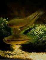 Ryby akwariowe Akarka paskowana