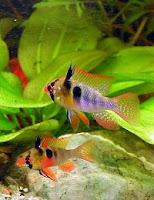 ryby akwariowe Pielęgniczka Ramireza