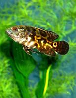 Ryby akwariowe Pielęgnica pawiooka