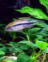 ryby akwariowe Pielęgniczka Agassiza