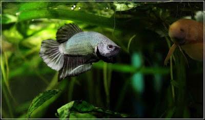 jlia - ryby akwariowe