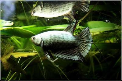 jli9 - ryby akwariowe