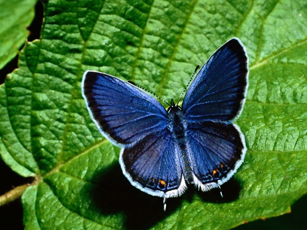 [borboleta+azul]