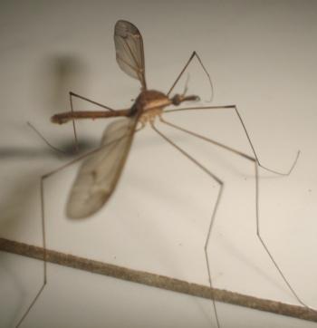 nyamuk mosquitos